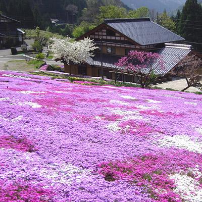 Giardino Shibazakura della famiglia Kunita
